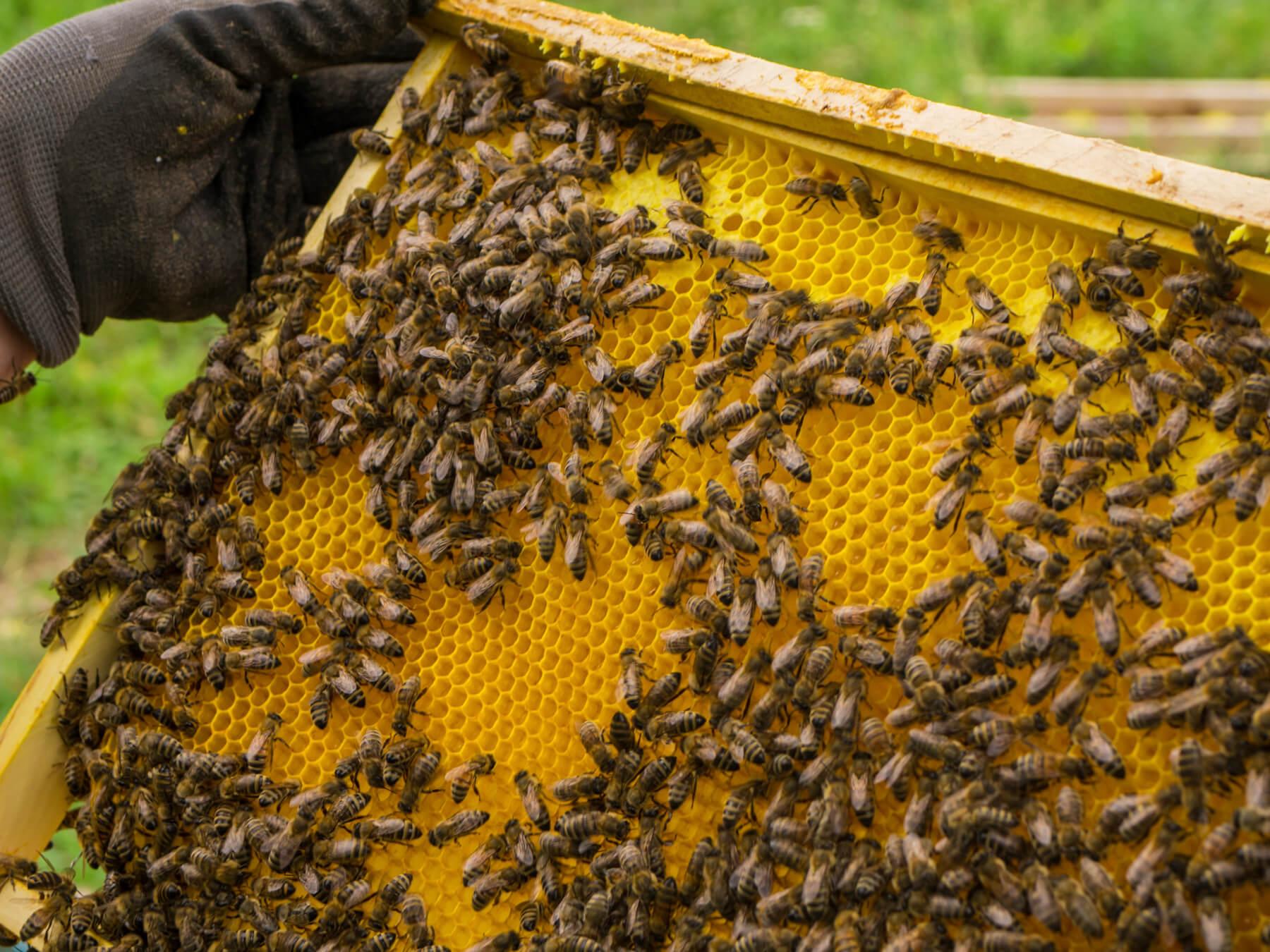 pyłek pszczół do montażu